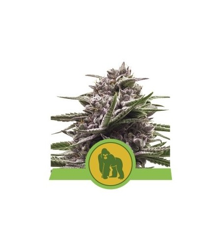 Royal Gorilla Auto - ROYAL QUEEN SEEDS