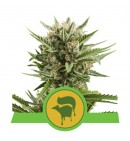 Sweet Skunk Auto - ROYAL QUEEN SEEDS