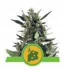 Blue Cheese Auto - ROYAL QUEEN SEEDS