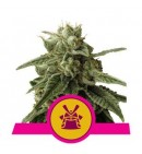 Shogun - ROYAL QUEEN SEEDS