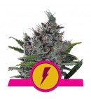North Thunderfuck - ROYAL QUEEN SEEDS