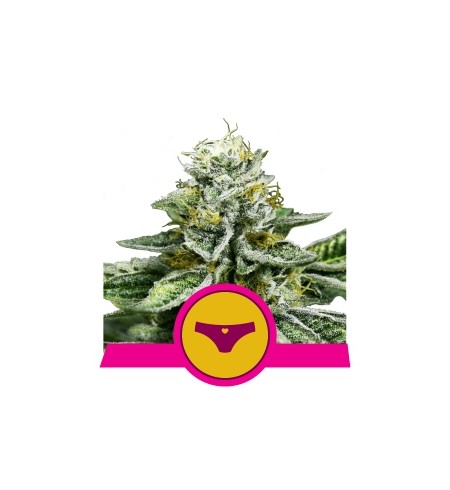 Sherbet Queen - ROYAL QUEEN SEEDS