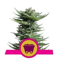 Shining Silver Haze - ROYAL QUEEN SEEDS