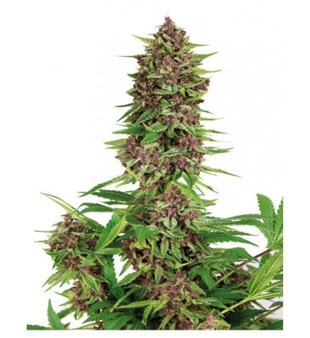 Purple Kush - BUDDHA SEEDS