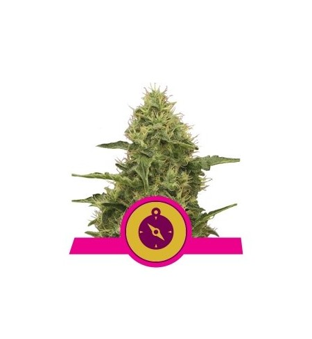 Northern Lights - ROYAL QUEEN SEEDS
