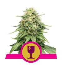 Critical - ROYAL QUEEN SEEDS