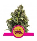 Candy Kush Express (Fast Flowering) - ROYAL QUEEN SEEDS