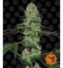 Tangerine Dream Auto - BARNEY'S FARM
