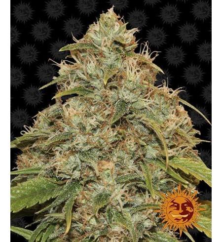CBD Lemon Potion Auto - BARNEY'S FARM