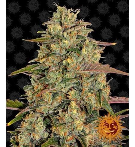 Amnesia Lemon - BARNEY'S FARM