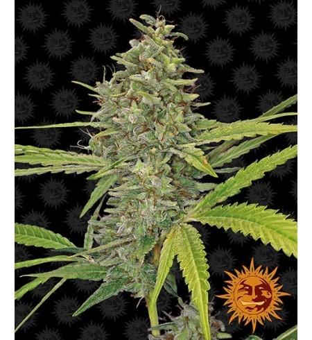 G13 Haze - BARNEY'S FARM