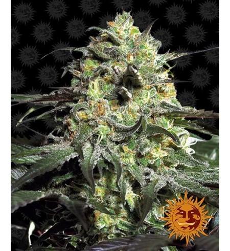 Peyote Cookies - BARNEY'S FARM
