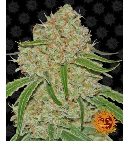 Phantom OG - BARNEY'S FARM