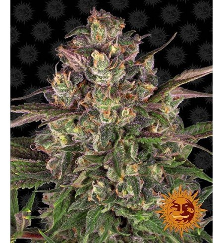 Peyote Critical - BARNEY'S FARM
