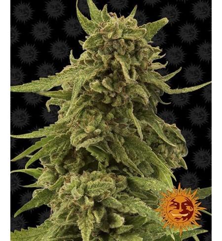 CBD Critical Cure - BARNEY'S FARM