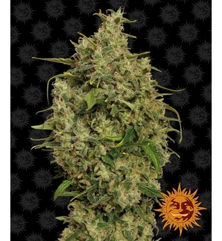 Sweet Tooth - BARNEY'S FARM