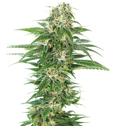Early Skunk Auto - SENSI SEEDS