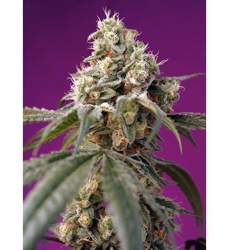 Bruce Banner Auto® - Sweet Seeds