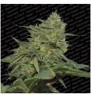 Original Cheese (IBL) - PARADISE SEEDS