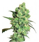 Super Skunk - SENSI SEEDS