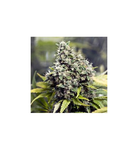 Outdoor Grapefruit - FEMALE SEEDS