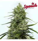 White Widow x Critical - SPANISH SEEDS