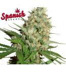 Jack AUTO - SPANISH SEEDS