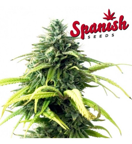 Somango  AUTO - SPANISH SEEDS