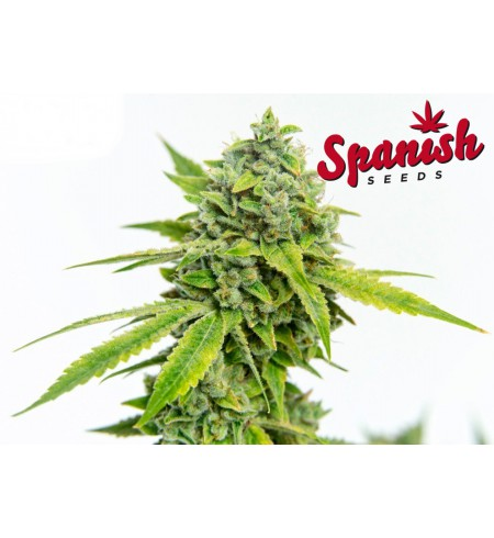 White Dwarf x Auto Critical - SPANISH SEEDS