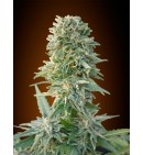 Auto Jack Herer - ADVANCED SEEDS