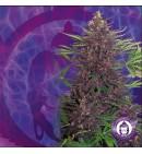 Buddha Purple Kush AUTO - BUDDHA SEEDS