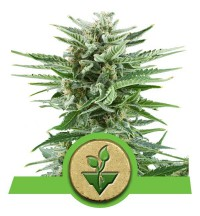 Royal Easy Bud - ROYAL QUEEN SEEDS