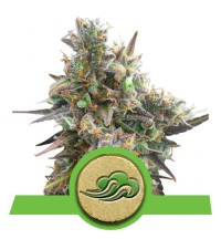 Royal Bluematic - ROYAL QUEEN SEEDS