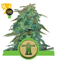 Royal Haze Automatic - ROYAL QUEEN SEEDS