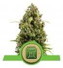 Diesel Automatic - ROYAL QUEEN SEEDS