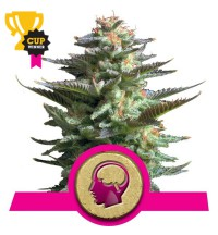 Amnesia Haze - ROYAL QUEEN SEEDS