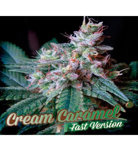 Cream Caramel Fast Version F1 - SWEET SEEDS