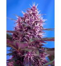 Red Posion AUTO - SWEET SEEDS