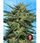 White Russian AUTO - SERIOUS SEEDS
