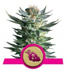 Fruit Spirit - ROYAL QUEEN SEEDS