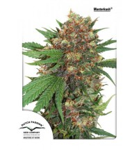 Masterkush - DUTCH PASSION SEEDS