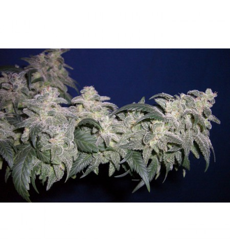 Magic Bud - PARADISE SEEDS