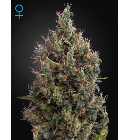 Big Bang Auto (Feminised) - GREEN HOUSE SEEDS