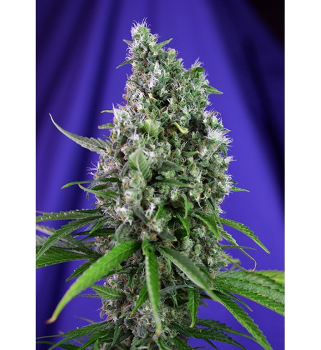 Sweet Trainwreck Auto - SWEET SEEDS