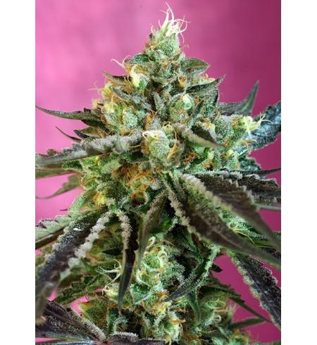 Sweet Nurse Auto CBD® - SWEET SEEDS