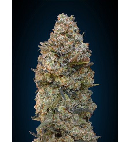 Chocolate Skunk 50 - 00 SEEDS