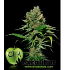 Excalibur - EVA SEEDS