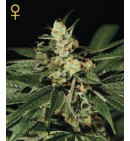 TrainWreck - GREEN HOUSE SEEDS