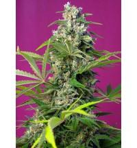 Gorilla Girl - Sweet Seeds
