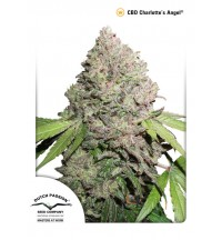 CBD Charlotte's Angel - Dutch Passion - 100szt